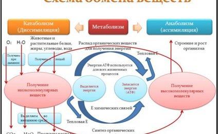 схема метаболизма, обмена